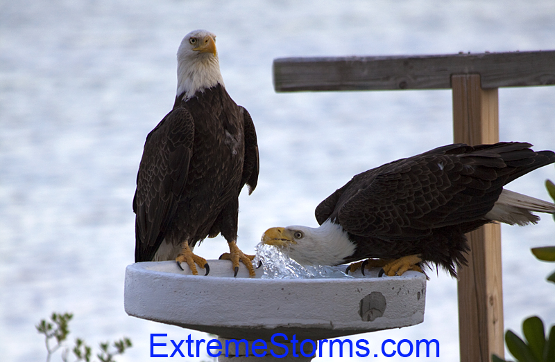 Bald Eagles drinking water